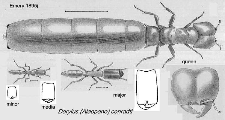 Dorylus (Alaopone) conradti.  Матка и три касты рабочих. по: Emery, 1895)