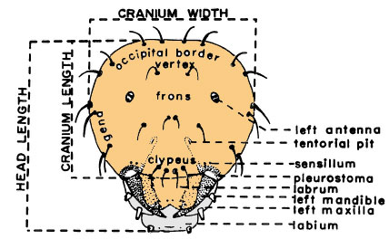 голова личинки