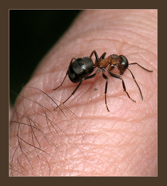 Рабочий муравей, предположительно рыжего лесного муравья. на руке у...