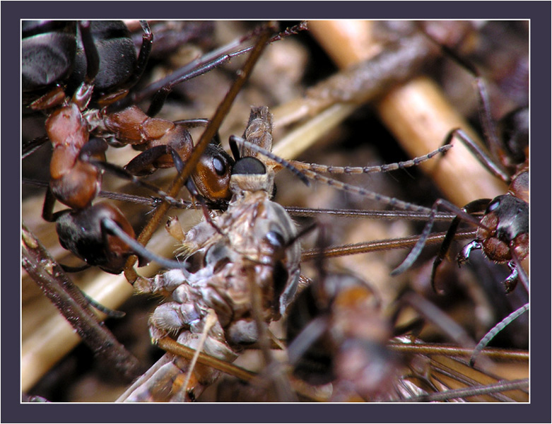 Затем...  Рабочие муравьи, предположительно рыжего лесного муравья.