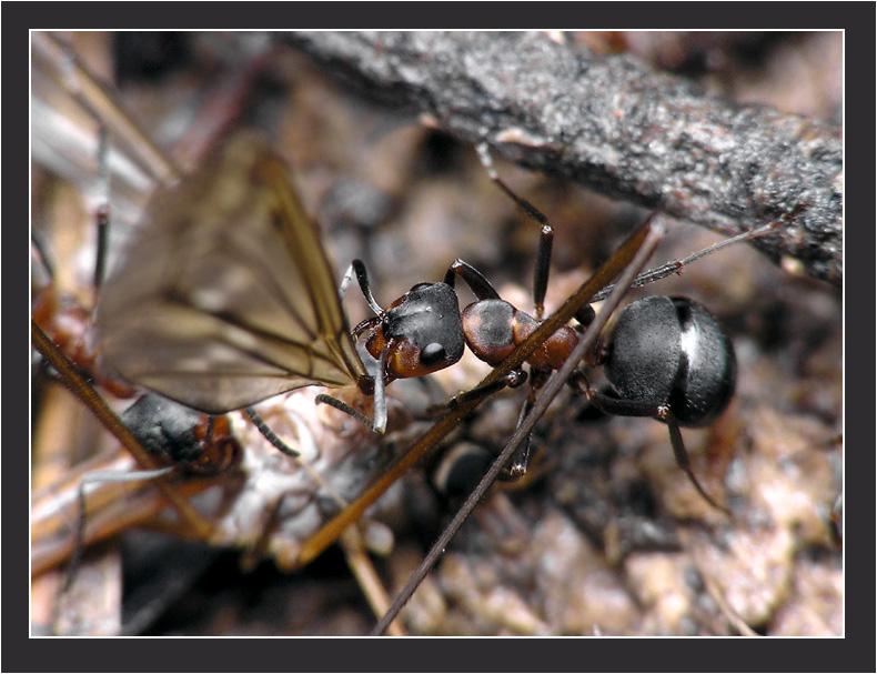 обнаружили большого комара долгоножку, которого люди обычно страшно...