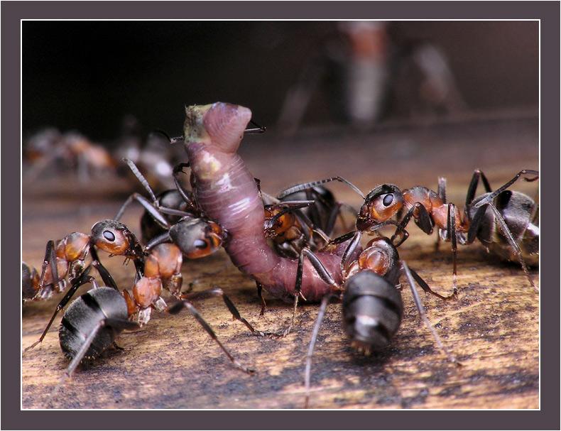 можно ли ловить на муравья